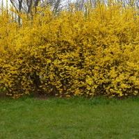 Żółty krzew w parku