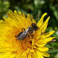 Pszczółka maja....