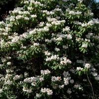 Różanecznik Purdoma