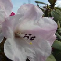 Rododendron u mnie naj-