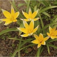 Słoneczne tulipanki...
