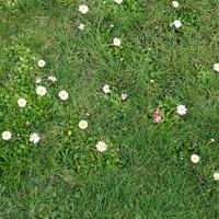 Stokrotkowy trawnik....