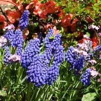 Szafirki -wiosenne kwiaty