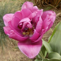 Tulipanowe różowości :)