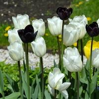 Tulipany białe i czarne