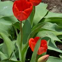 Tulipany na wolności