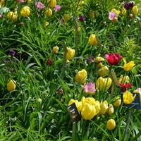 Tulipany ożywiły trawnik