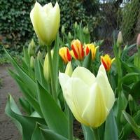 Urządziłam sobie tulipanowy piątek
