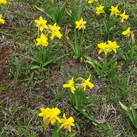 Wiosenne kwiaty  na trawniku