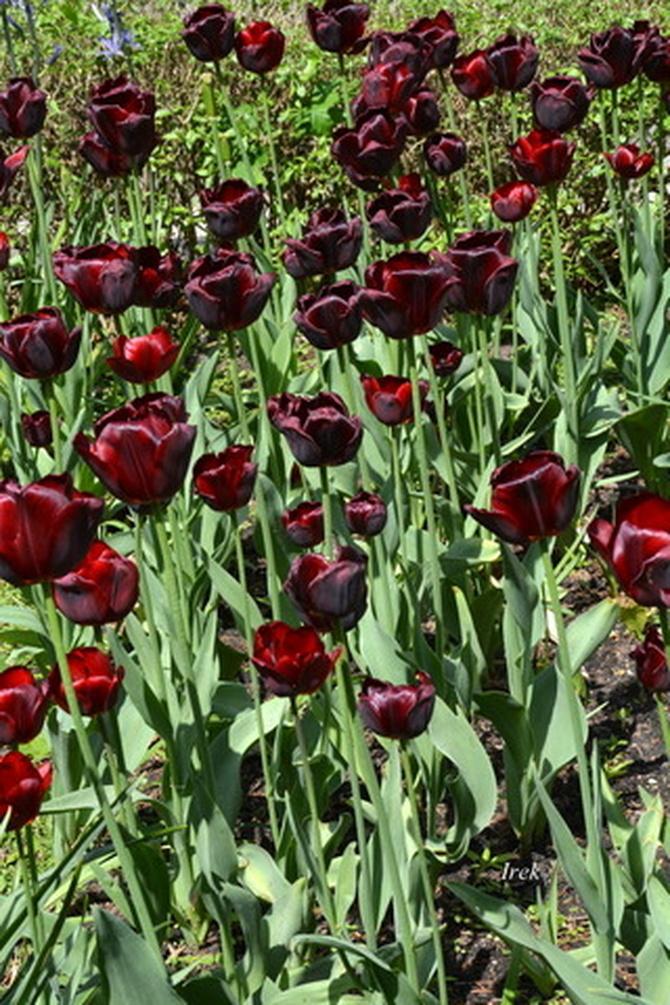 Ciemne tulipany w parku