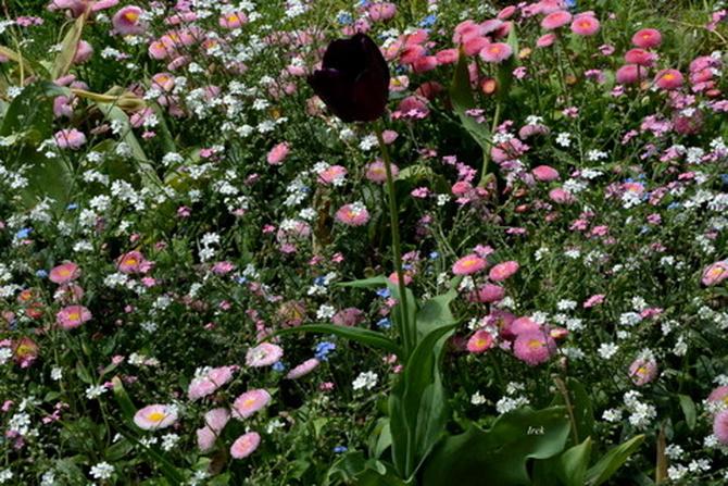 Czarny tulipan w parku w moim mieście.