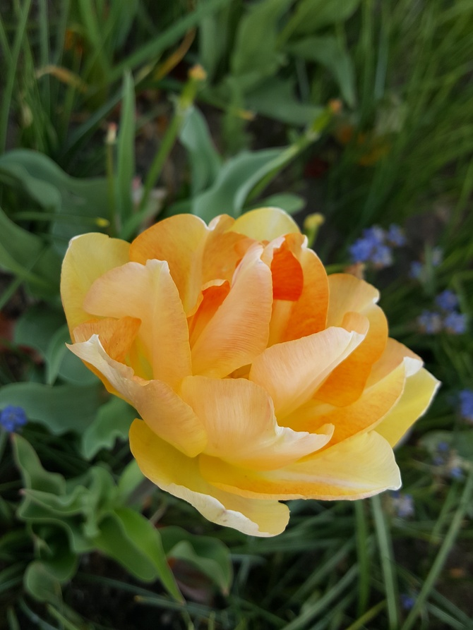 Delikatny tulipanek...