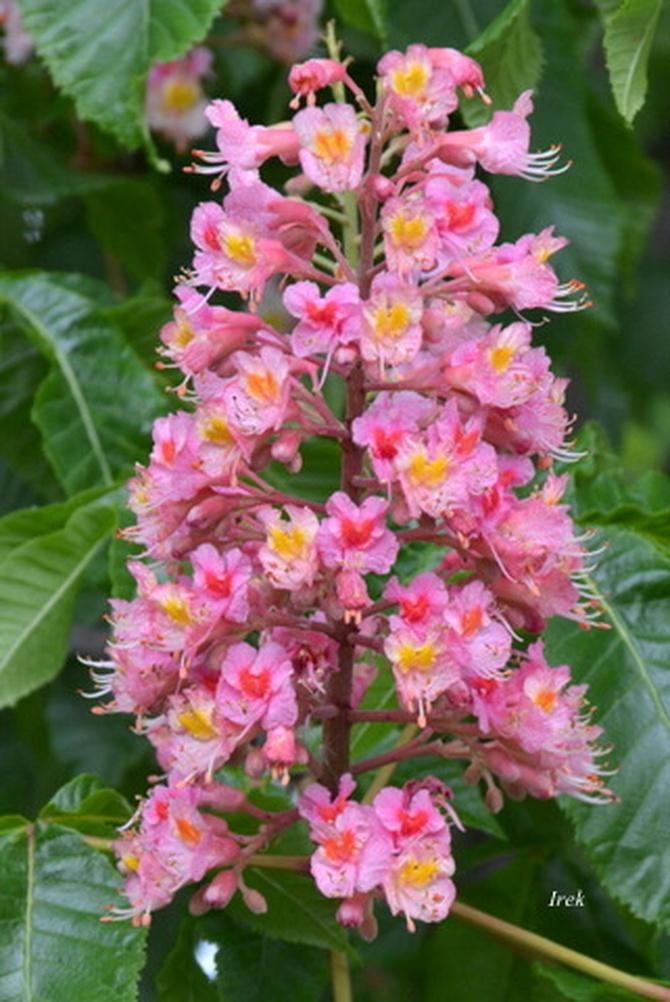 Drzewo kwitnie na różowo