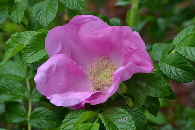 Dzika róża, wspaniale pachnąca