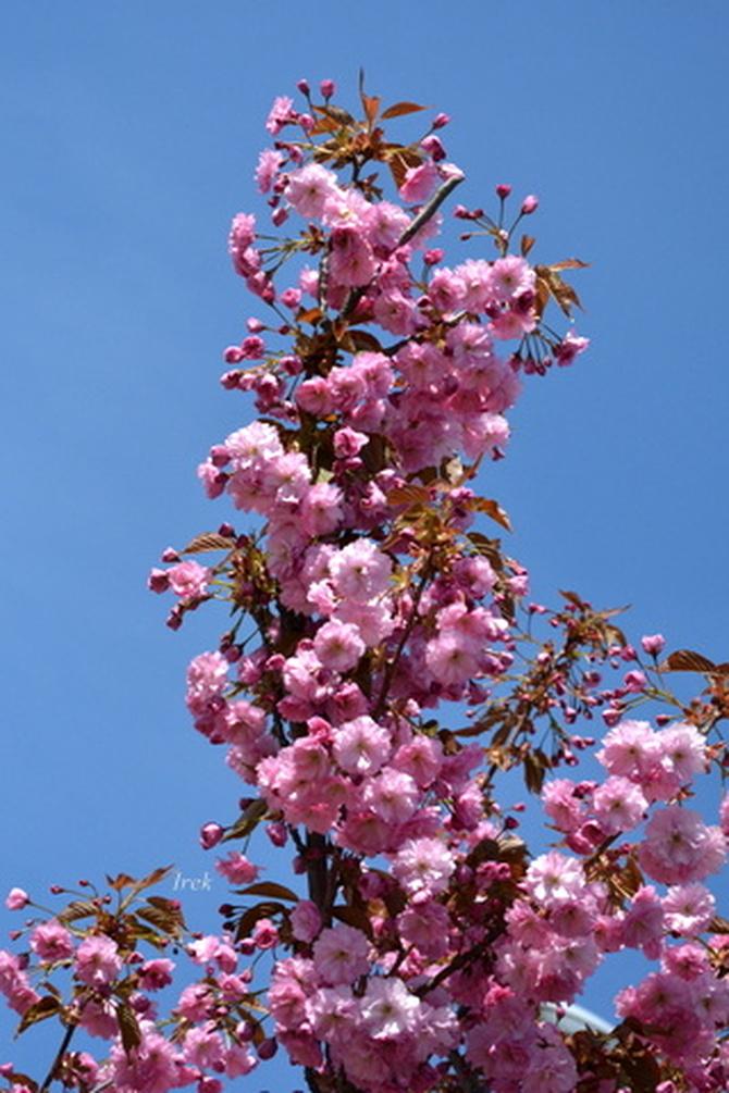 Gałązka kwitnącego migdałka.