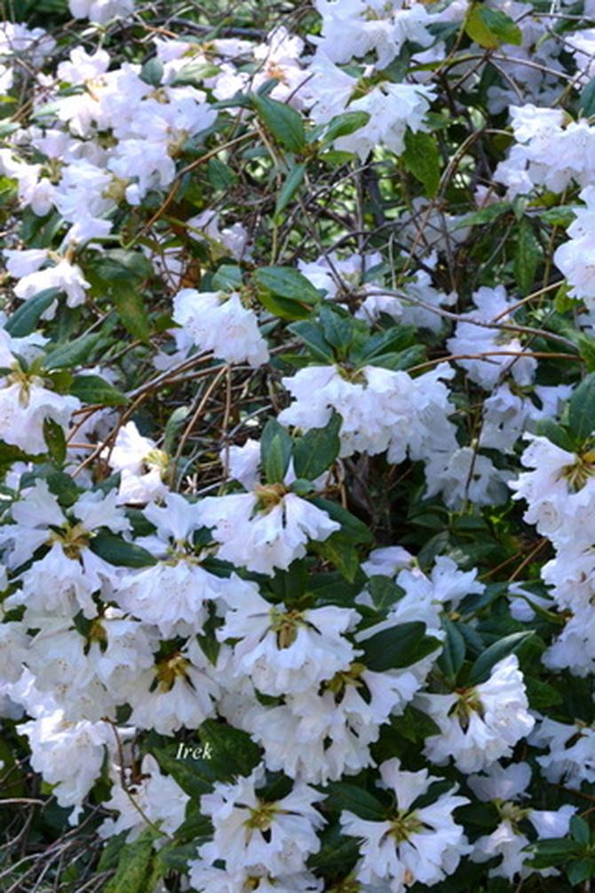 Krzew z białymi kwiatami