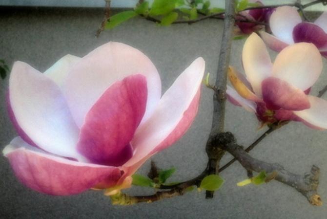 Kwiat magnolii z bliska
