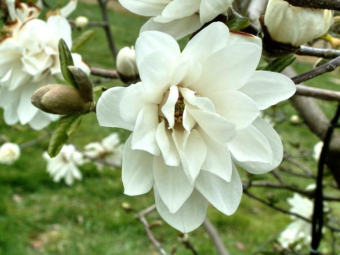 Kwiat magnolii