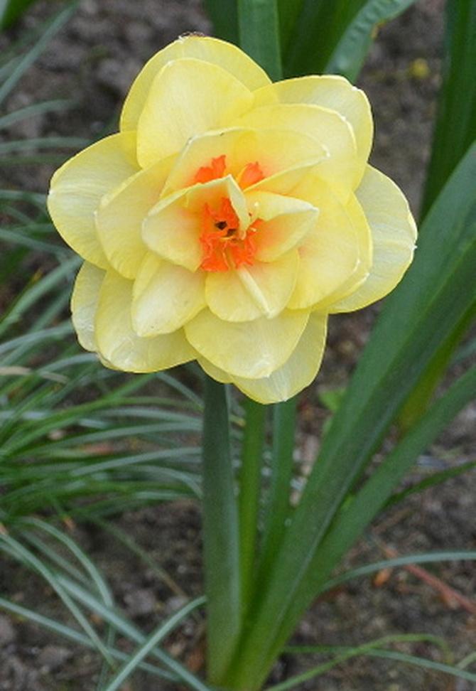 Kwiat narcyz