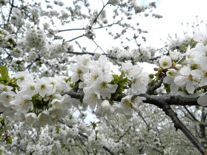 Kwiaty czereśni
