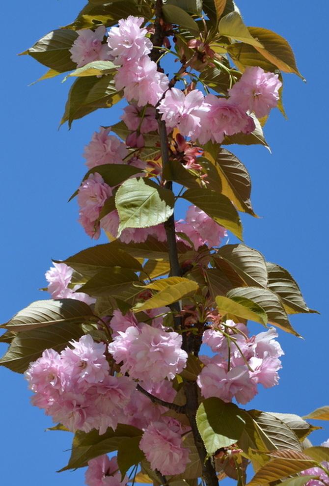 Kwiaty kwitnącego migdałka.