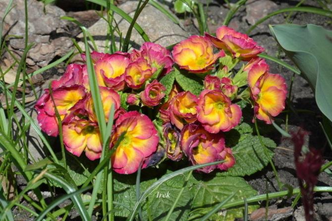 Kwiaty w skalniaku, prymulki