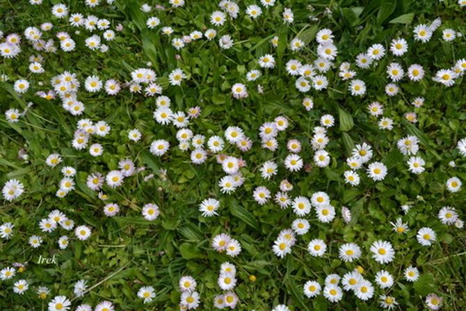 Kwiaty w trawniku