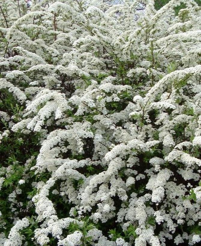 Kwitnąca tawuła na moim osiedlu
