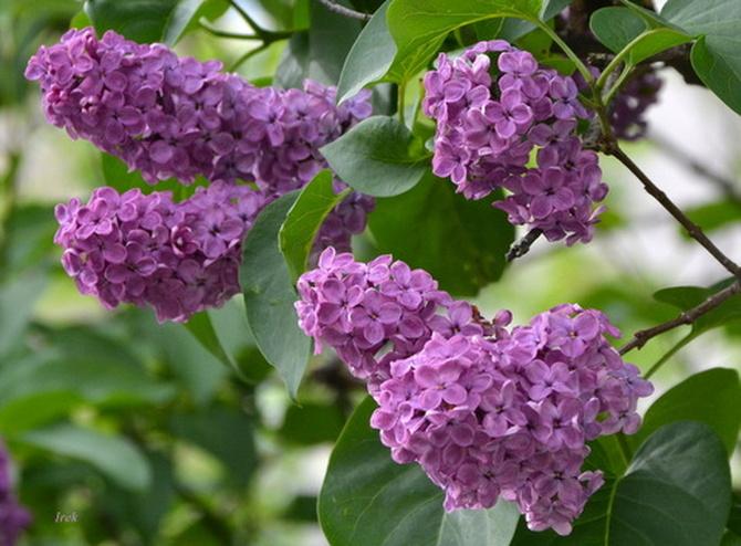 Lilak w ciemnym kolorze (lila)