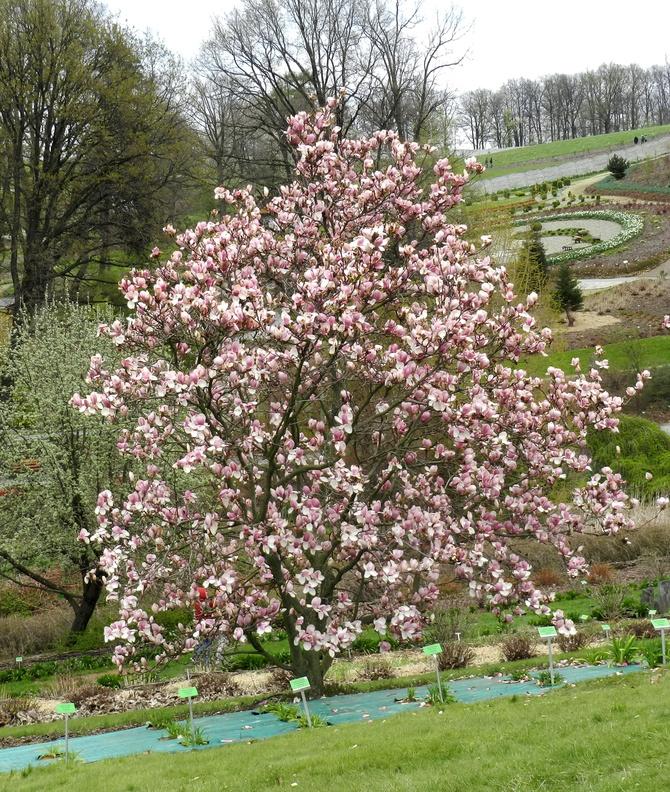 Magnolia w Arboretum