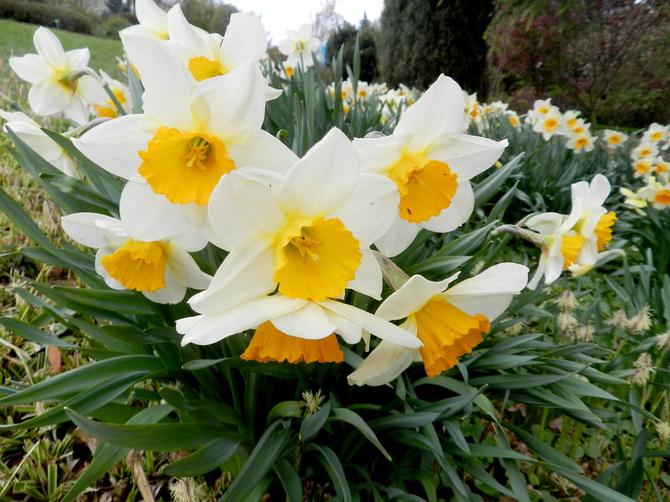 Narcyzy wiosenne kwiaty