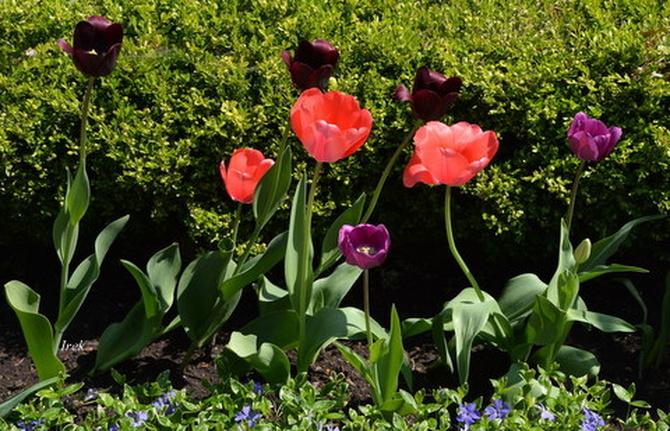 Niskie tulipany
