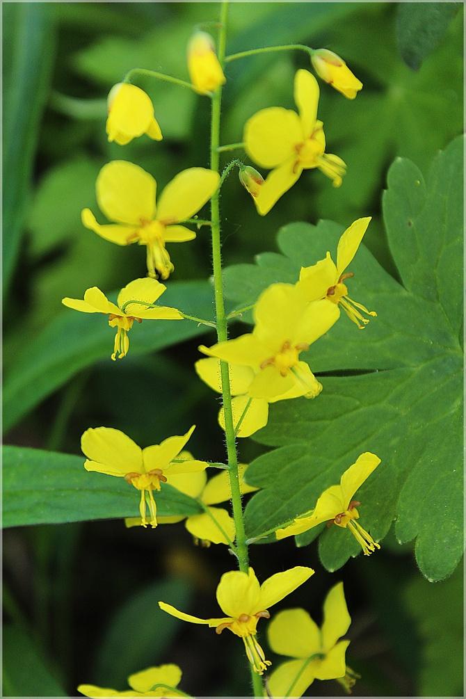Żółte epimedium...