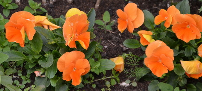 Pomarańczowe bratki.