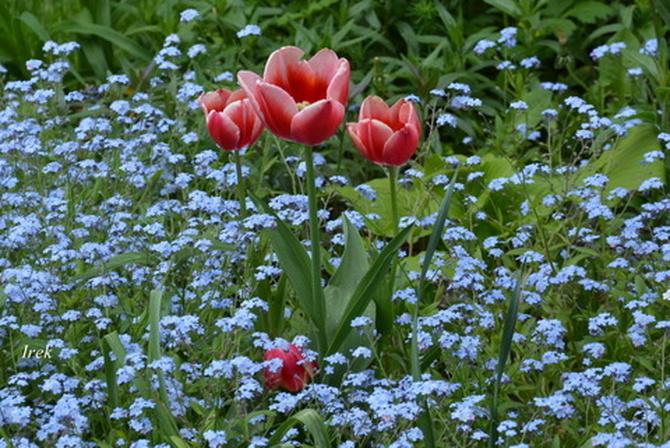 Rodzinka tulipanów