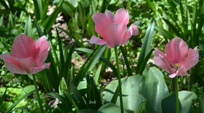 Trzy tulipany