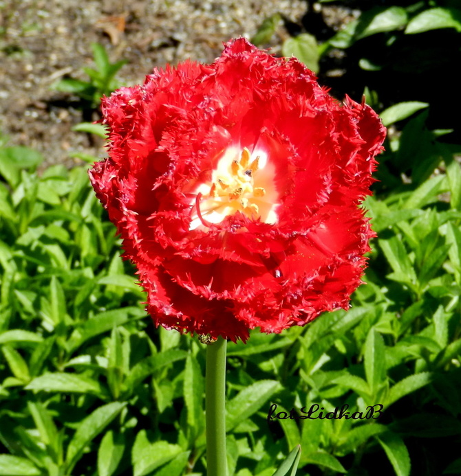 Tulipan 'Barbados'
