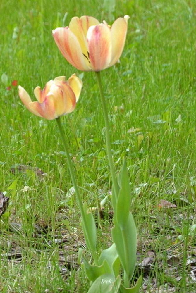 Tulipany dwukolorowe w trawniku