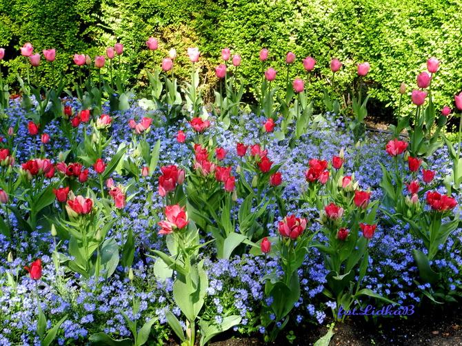 Tulipany i niezapominajki