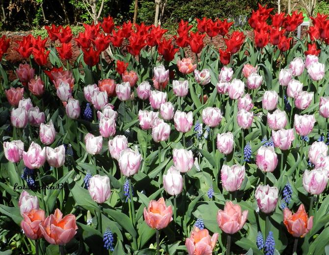 Tulipany w Ogrodzie Botanicznym