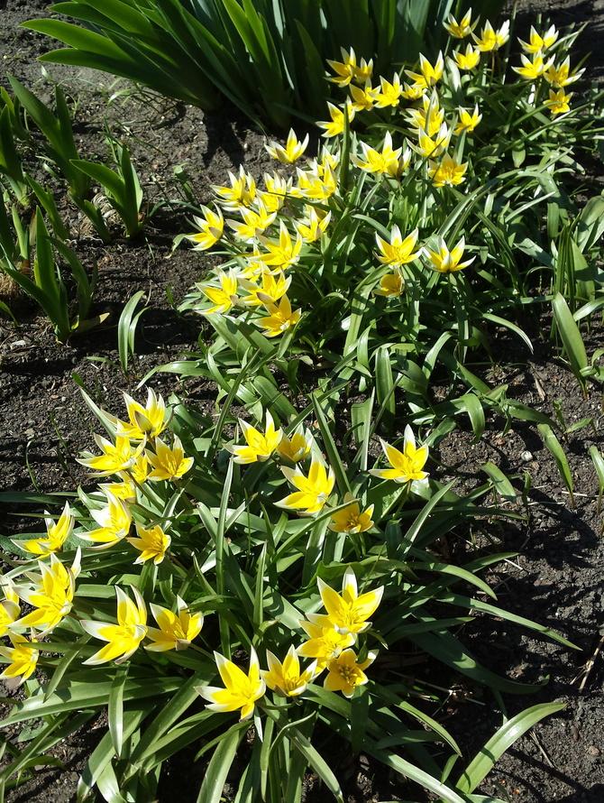 Tulipany ,wiosenne kwiaty