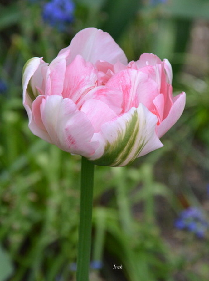 Uroczy tulipan