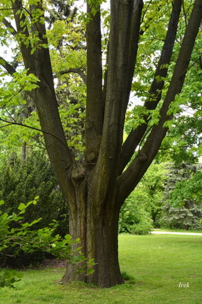 W parku są nie tylko kwiatki są też ciekawe drzewa