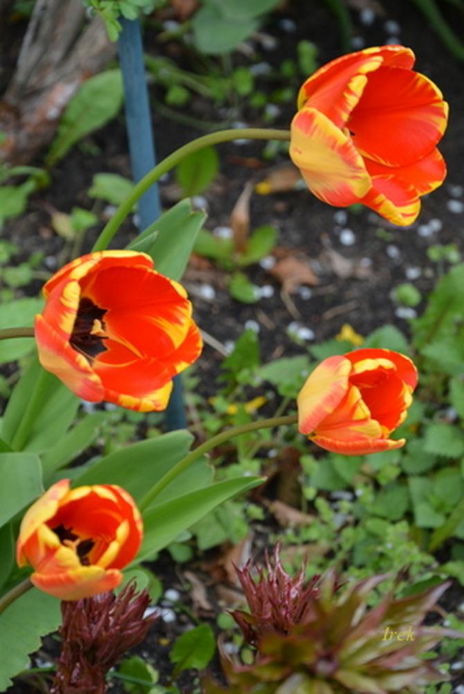 Wichura nawiedziła tulipany