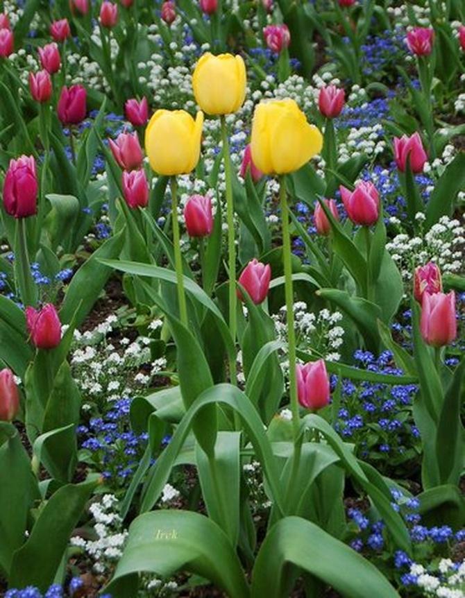 Wspaniałe, wiosenne tulipany