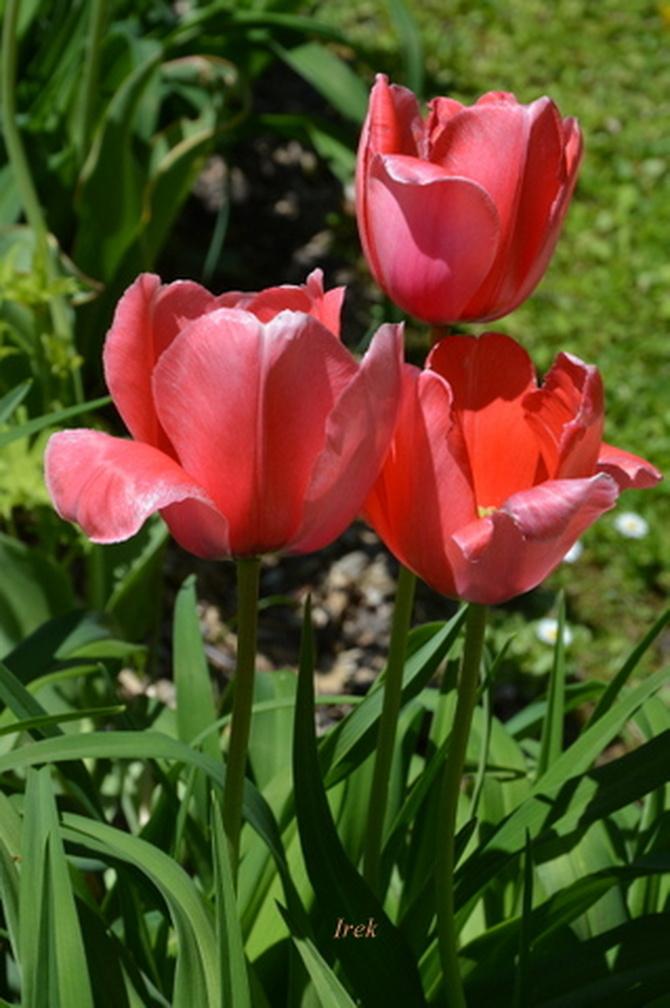 wysokie tulipany