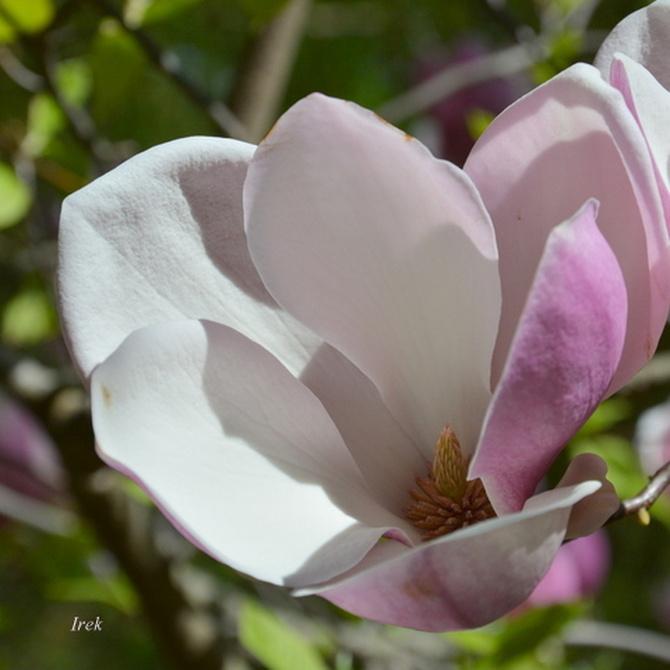 Zajrzałem do środka kwiatu magnolii.