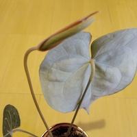 Anturium clarinervium kwitnie
