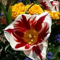 Łapciaty tulipan....