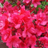 Azalia japońska Rubinstern - Azalea japonica